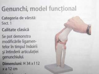 Genunchi, model functional